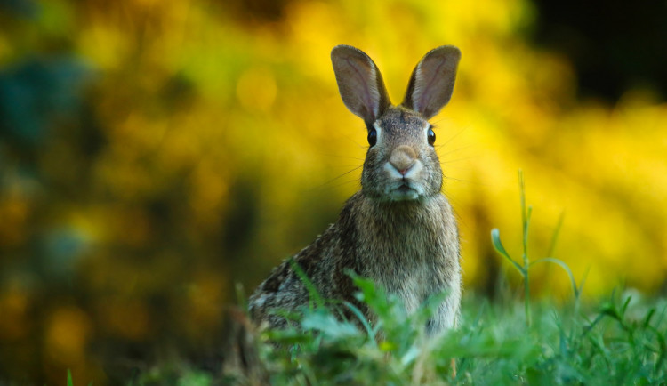 V České Lípě je tularemie zajíců, nemoc je přenosná na člověka