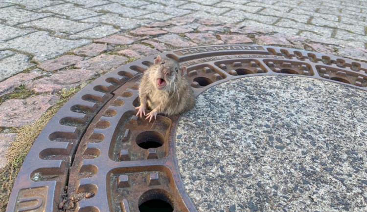 FOTO: Uvízlého potkana zachránili hasiči. Zpráva obletěla svět. Lidé mu přáli ale i drastickou smrt