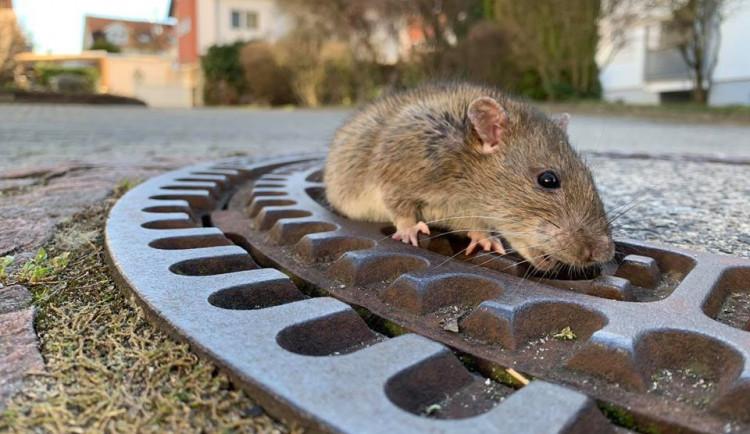 Hasiči v Německu zachránili uvízlého potkana.