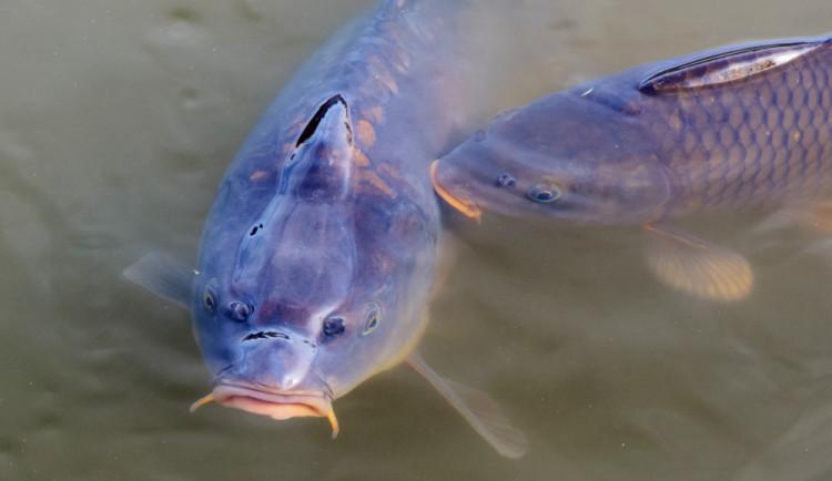Kvůli viru rybáři v Praze utratili na 120 tun ryb