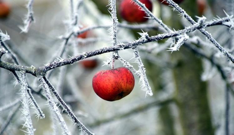 Škody po jarních mrazech u ovocnářů dosahují 158 milionů