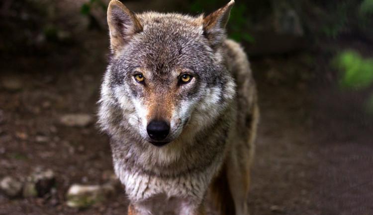 Vlci zabili v pozorovacím centrum v Kvildě laň